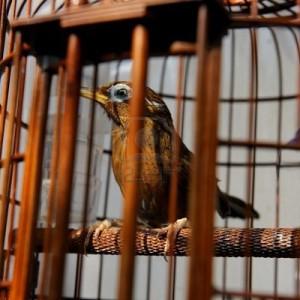 oiseaux-en-cage